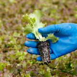 Lettuce seedling in gardeners hand for transplanting royalty free stock photography