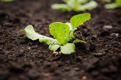 Lettuce seedling Stock Photos