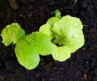Lettuce seedling Stock Photography