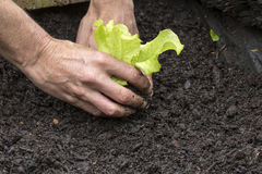 Lettuce Seedling Stock Image