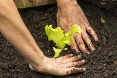 Lettuce Seedling Royalty Free Stock Photography