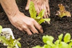 Lettuce Seedling Stock Photo