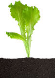 Lettuce seedling in soil Stock Image
