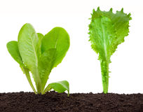 Lettuce seedling in soil Royalty Free Stock Photography