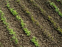 Lettuce seedlings Stock Image