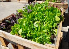 Lettuce seedlings Stock Photo