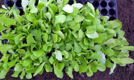 Lettuce Seedlings Royalty Free Stock Images
