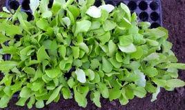 Lettuce Seedlings Royalty Free Stock Images