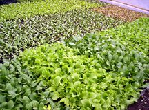 Lettuce seedlings. Indian garden farm Bridgewater Lunenburg County Nova Scotia Canada royalty free stock image