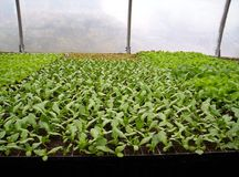 Lettuce seedlings. Indian garden farm Bridgewater Lunenburg County Nova Scotia Canada Royalty Free Stock Photos