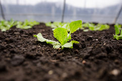 Lettuce seedlings closeup Stock Photo