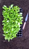 Lettuce Seedlings and dibber Royalty Free Stock Images