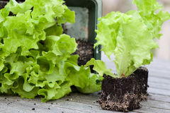 Lettuce seedlings with earth Royalty Free Stock Image