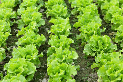 Lettuce seedlings in field Royalty Free Stock Photos
