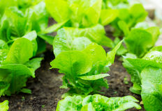 Lettuce seedlings in field Royalty Free Stock Photography