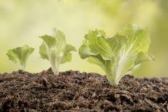 Lettuce seedlings in the garden Stock Photo