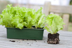 Lettuce seedlings on a garden table Stock Photos
