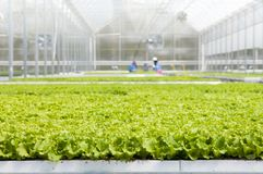 Lettuce seedlings in the greenhouse. Seedling view for your agribusiness. With greenhouse`s background stock photo