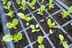 Lettuce Seedlings Stock Photography