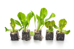 Lettuce seedlings isolated Stock Photography