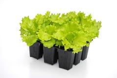 Lettuce seedlings ready for transplant. In bio garden Royalty Free Stock Image