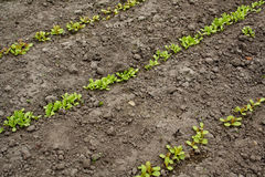 Lettuce seedlings in rows. Plantation Stock Photos
