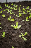 Lettuce seedlings rows Royalty Free Stock Photo