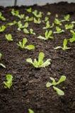 Lettuce seedlings rows Royalty Free Stock Photo