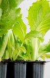 Lettuce seedlings Royalty Free Stock Image