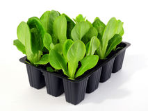 Lettuce seedlings Stock Photos