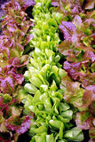 Lettuce seedlings in varieties Stock Image