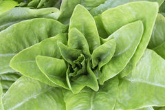 Lettuce - Single White Dell Royalty Free Stock Photo