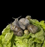 Lettuce and snails closeup Stock Photo