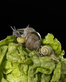 Lettuce and snails closeup Stock Photography