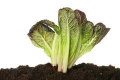 Lettuce in soil Royalty Free Stock Image
