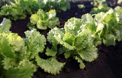 Lettuce on soil Stock Photo