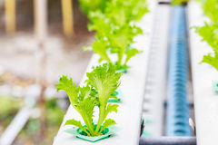 Lettuce sprout  on vegetable plot Royalty Free Stock Photo