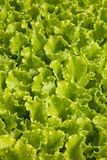 Lettuce sprouts Royalty Free Stock Image