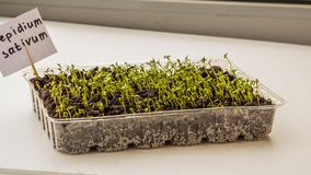 Lettuce sprouts grow indoors on the windowsill-image royalty free stock photo