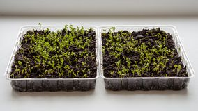 Lettuce sprouts grow indoors on the windowsill-image stock images