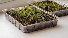 Lettuce sprouts grow indoors on the windowsill-image royalty free stock images