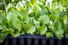 Lettuce sprouts in seed trays, approximately 4 weeks old stock photos