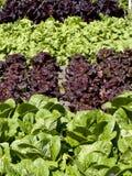 Lettuce Stripes Stock Photo