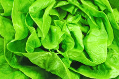Lettuce texture. Fresh and healthy lettuce texture royalty free stock photo