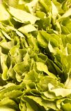Lettuce Texture Stock Photography
