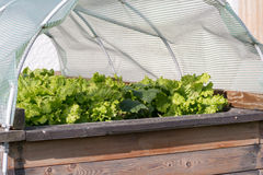 Lettuce thrives in raised bed Stock Photo
