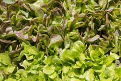 Lettuce two types. Of background Stock Images