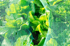Lettuce under a protection net Stock Photo
