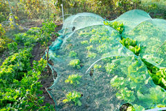 Lettuce under a protection net Stock Photography