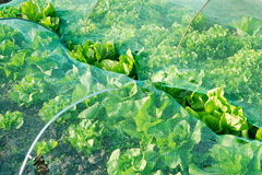 Lettuce under a protection net Royalty Free Stock Photos